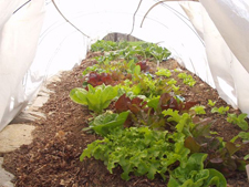 Our lettuce growing under winter hoops